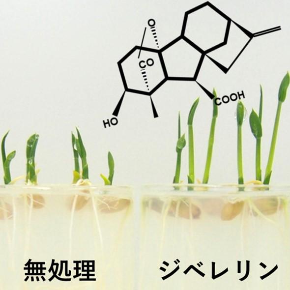 生命農学科通信 vol.18「植物ホルモン『ジベレリン』の魅…