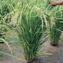 作物生産学I
