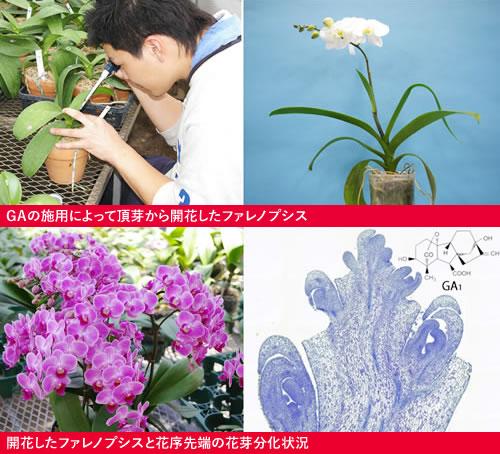 GAの施用によって頂芽から開花したファレノプシス