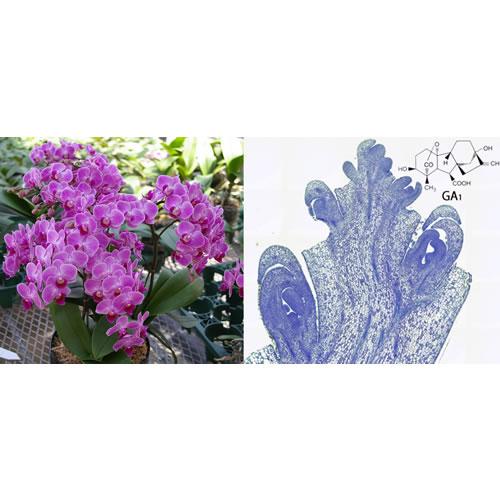 開花したファレノプシスと花序先端の花芽分化状況