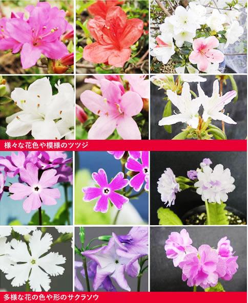図.様々な花色や模様のツツジ