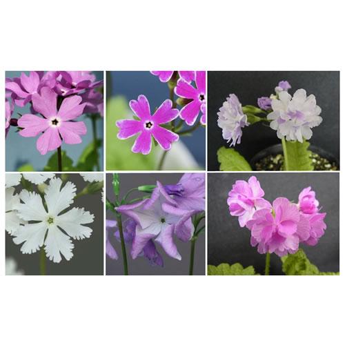 図.多様な花の色や形のサクラソウ