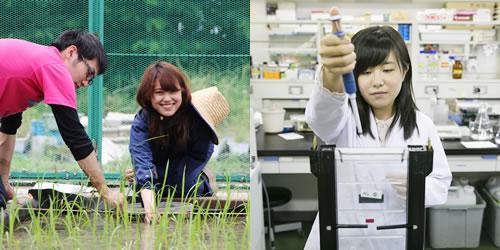 イネ日印雑種を用いた種子休眠性に関する遺伝解析