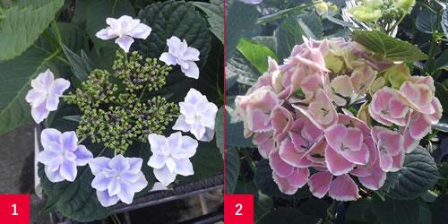 アジサイの装飾花の形を制御する遺伝子の解明