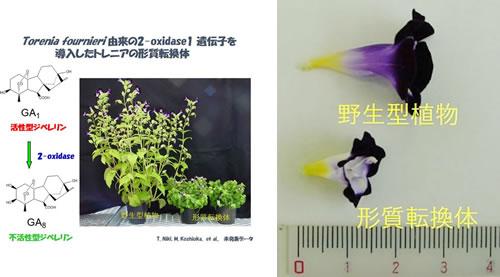 ジベレリン生合成制御による花きの生育・開花調節技術の開発