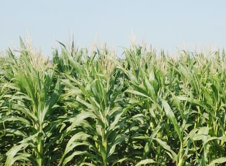 日本国内における飼料用トウモロコシの生理・生態的特性と乾物生産に関する研究