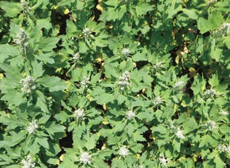 我が国におけるキノアの栽培に関する研究