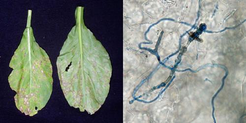 アブラナ科作物白斑病菌の病原性と発生生態に関する研究