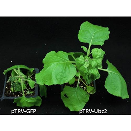 ウリ科作物のウイルス抵抗性機構と抵抗性を決定づける遺伝子の解明
